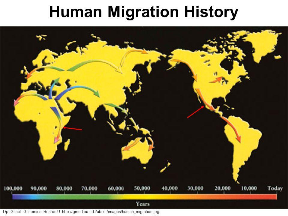 Dpt Genet. Genomics, Boston U. http://gmed.bu.edu/about/images/human_migration.jpg Human Migration History