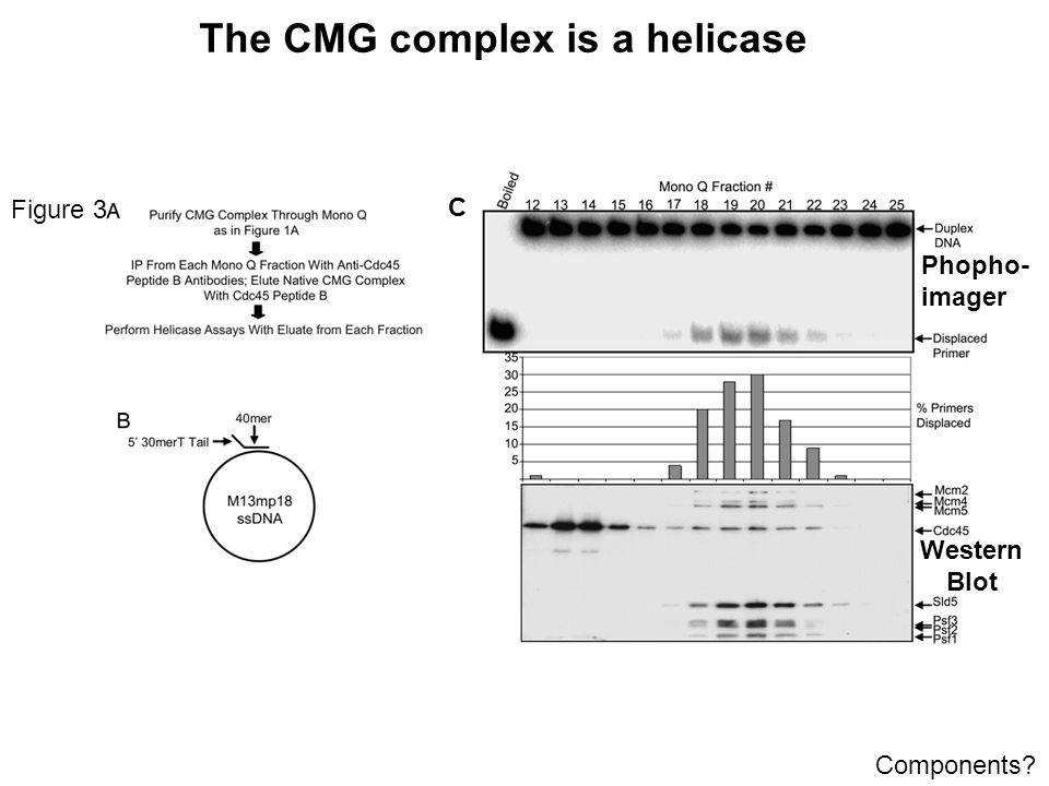 The CMG complex is a helicase Figure 3 C Western Blot Phopho- imager Components?