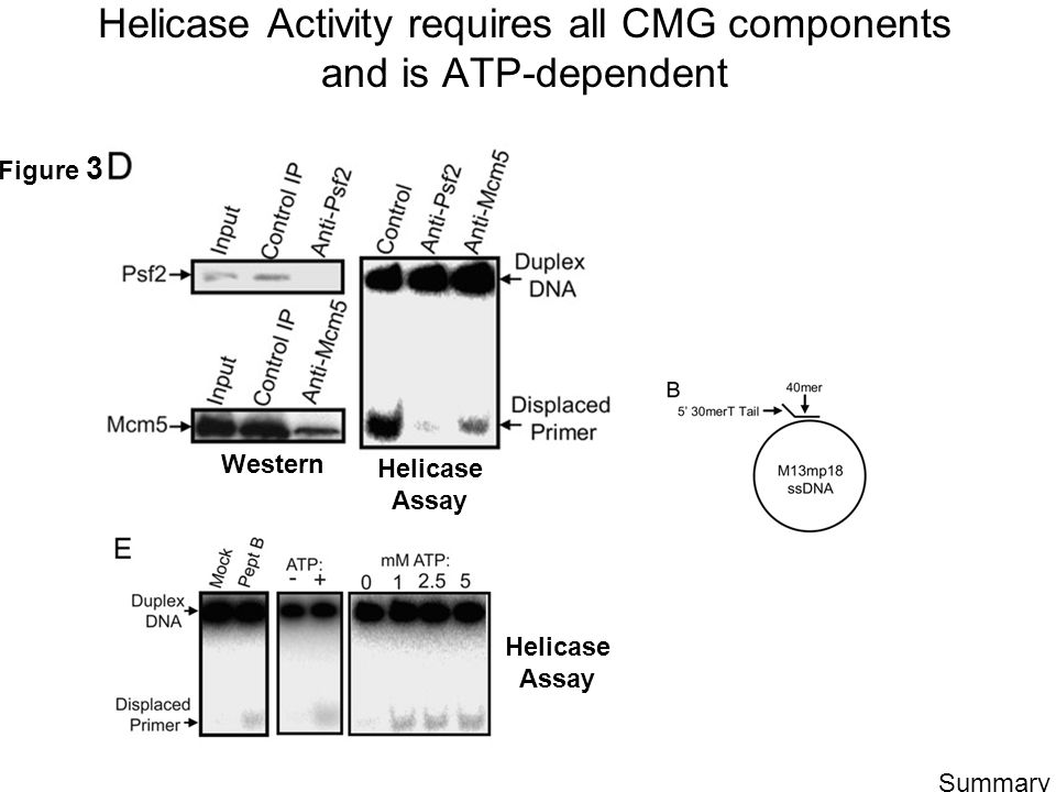 Helicase Activity requires all CMG components and is ATP-dependent Western Helicase Assay Figure 3 Summary