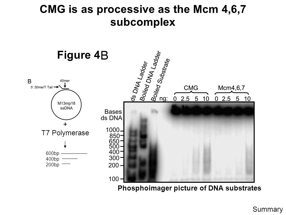 CMG is as processive as the Mcm 4,6,7 subcomplex Figure 4 Phosphoimager picture of DNA substrates Summary + T7 Polymerase 600bp 400bp 200bp