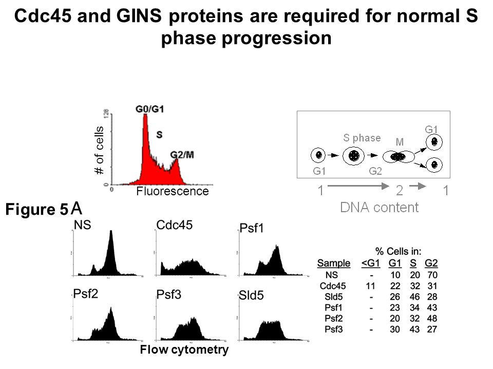 Cdc45 and GINS proteins are required for normal S phase progression Figure 5 Fluorescence # of cells Flow cytometry