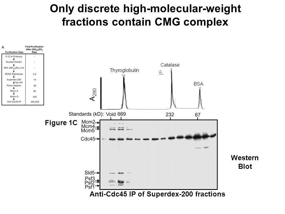 Anti-Cdc45 IP of Superdex-200 fractions Figure 1C Western Blot A 280 Thyroglobulin Catalase BSA Only discrete high-molecular-weight fractions contain CMG complex