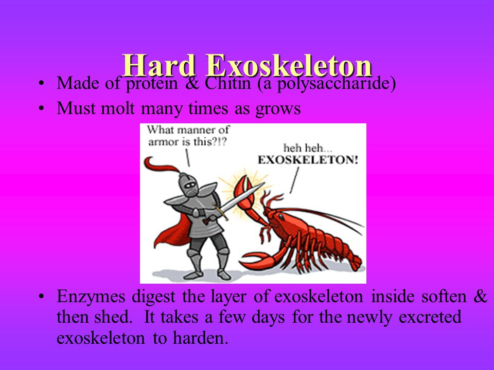 Hard Exoskeleton Made of protein & Chitin (a polysaccharide) Must molt many times as grows Enzymes digest the layer of exoskeleton inside soften & the