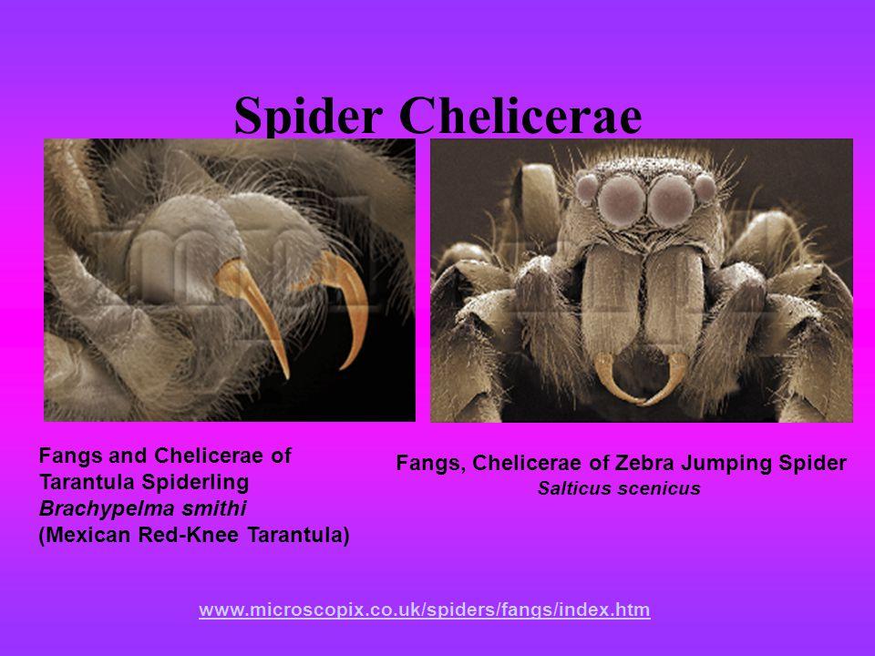 Spider Chelicerae Fangs, Chelicerae of Zebra Jumping Spider Salticus scenicus www.microscopix.co.uk/spiders/fangs/index.htm Fangs and Chelicerae of Tarantula Spiderling Brachypelma smithi (Mexican Red-Knee Tarantula)