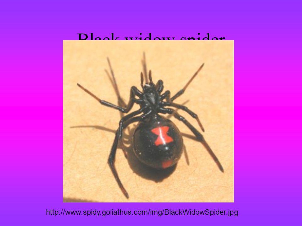 Black widow spider http://www.spidy.goliathus.com/img/BlackWidowSpider.jpg