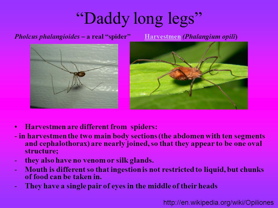 Daddy long legs Pholcus phalangioides – a real spider Harvestmen (Phalangium opili)Harvestmen Harvestmen are different from spiders: - in harvestmen t