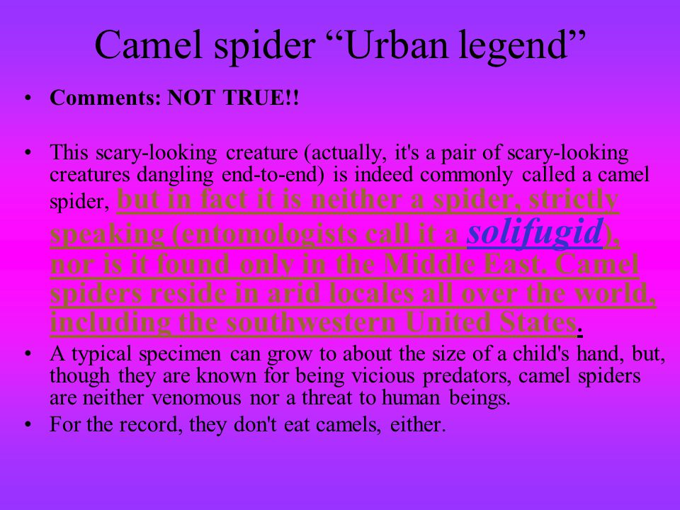 Camel spider Urban legend Comments: NOT TRUE!! This scary-looking creature (actually, it's a pair of scary-looking creatures dangling end-to-end) is i