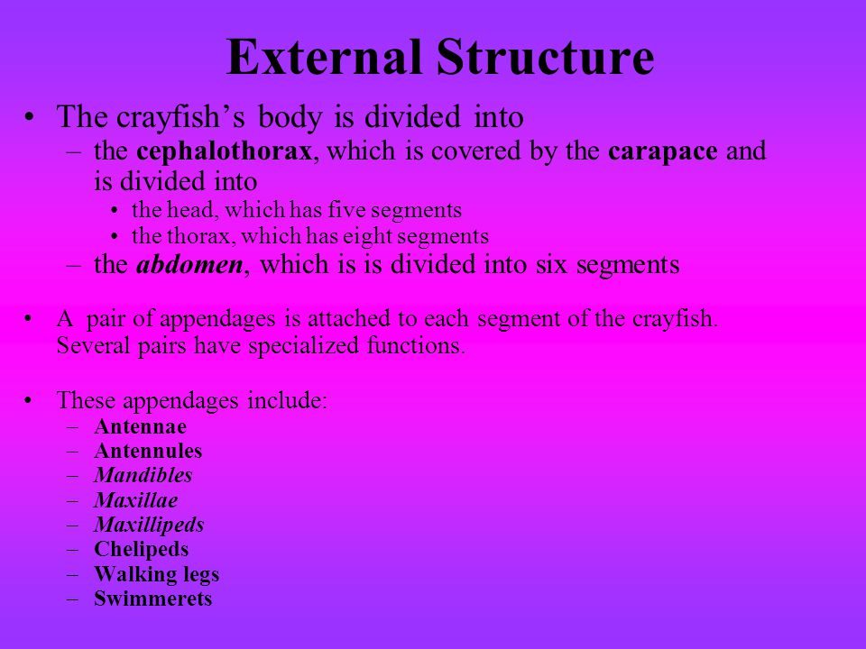 External Structure The crayfishs body is divided into –the cephalothorax, which is covered by the carapace and is divided into the head, which has fiv