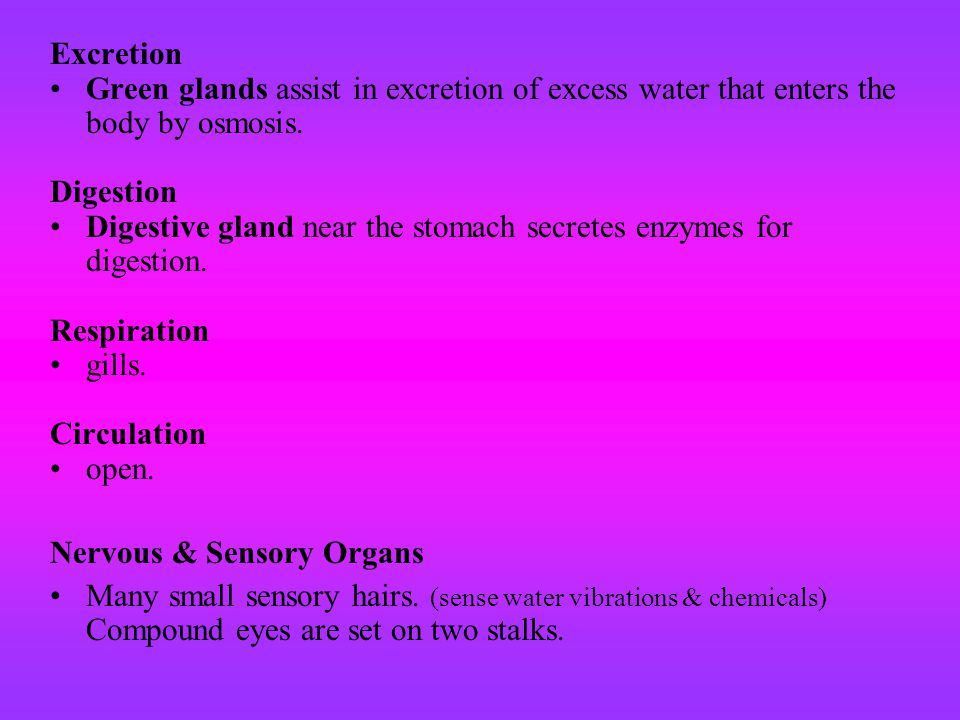 Excretion Green glands assist in excretion of excess water that enters the body by osmosis. Digestion Digestive gland near the stomach secretes enzyme
