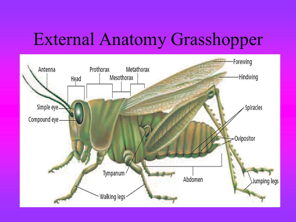 External Anatomy Grasshopper