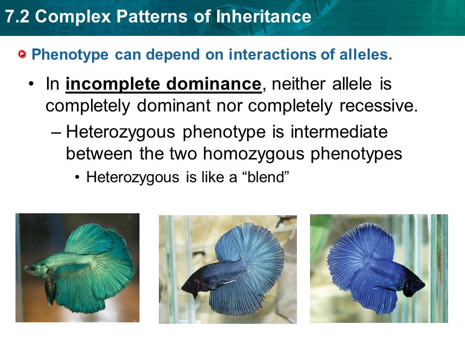 7.2 Complex Patterns of Inheritance Phenotype can depend on interactions of alleles.