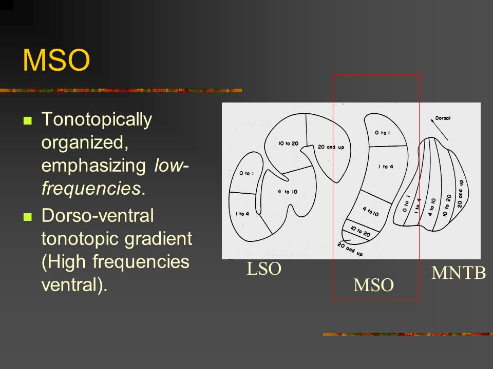 MSO Tonotopically organized, emphasizing low- frequencies.