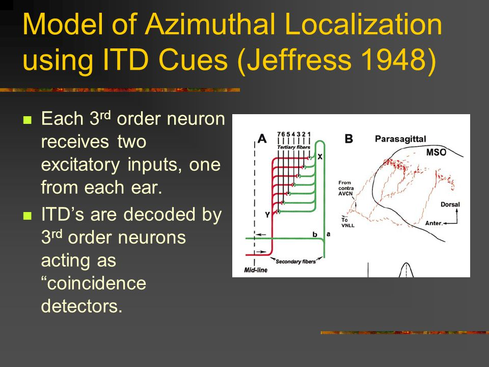 Model of Azimuthal Localization using ITD Cues (Jeffress 1948) Each 3 rd order neuron receives two excitatory inputs, one from each ear.