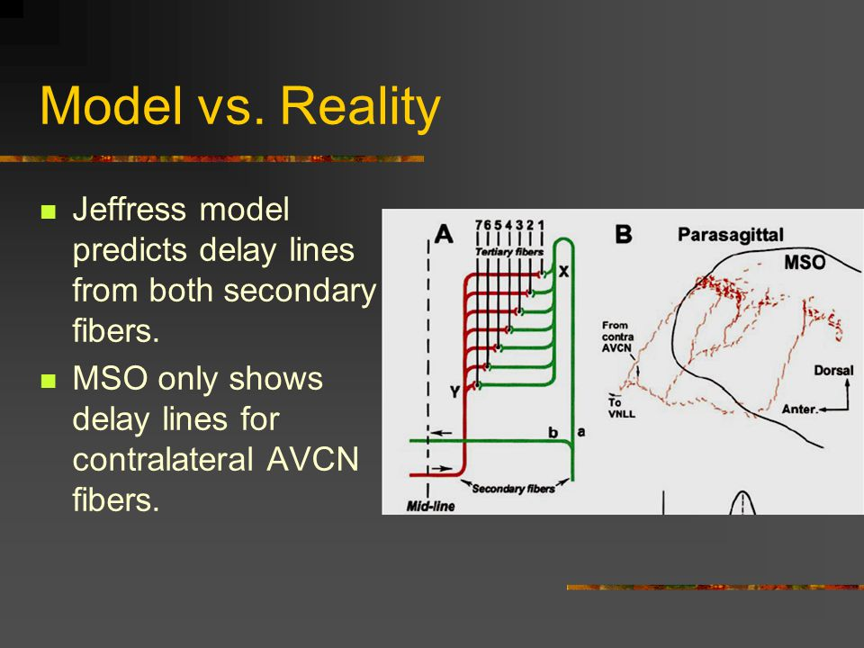 Model vs.Reality Jeffress model predicts delay lines from both secondary fibers.