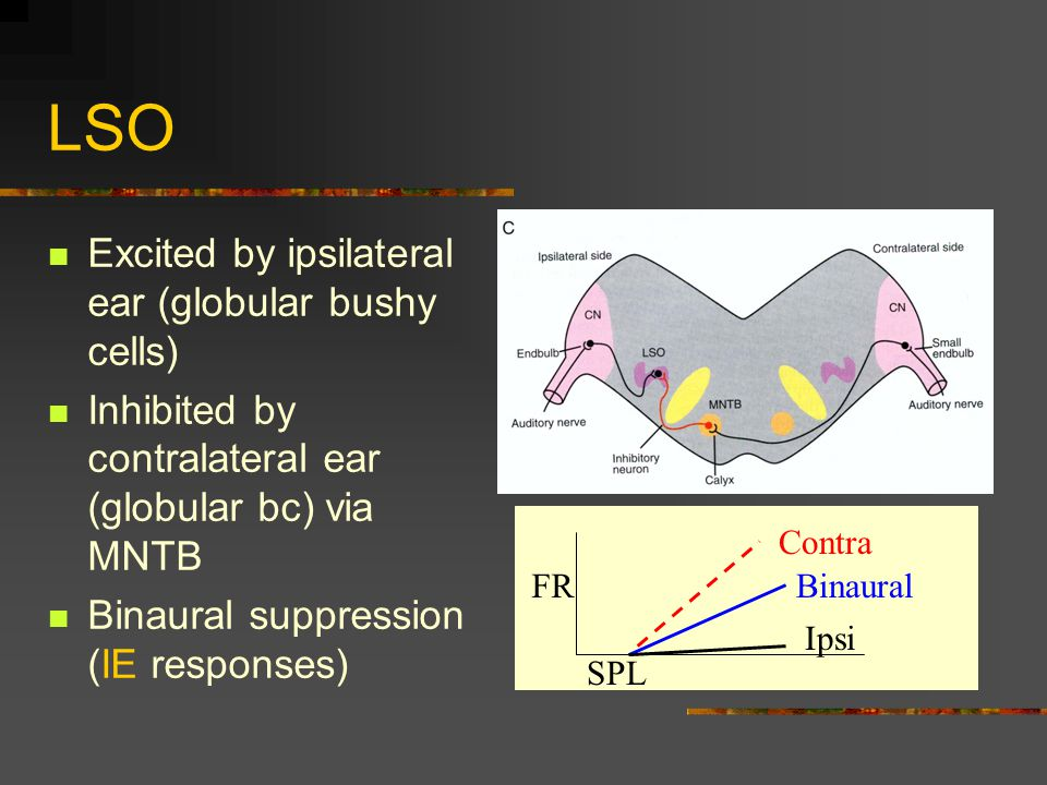 LSO Excited by ipsilateral ear (globular bushy cells) Inhibited by contralateral ear (globular bc) via MNTB Binaural suppression (IE responses) Binaural Contra Ipsi SPL FR