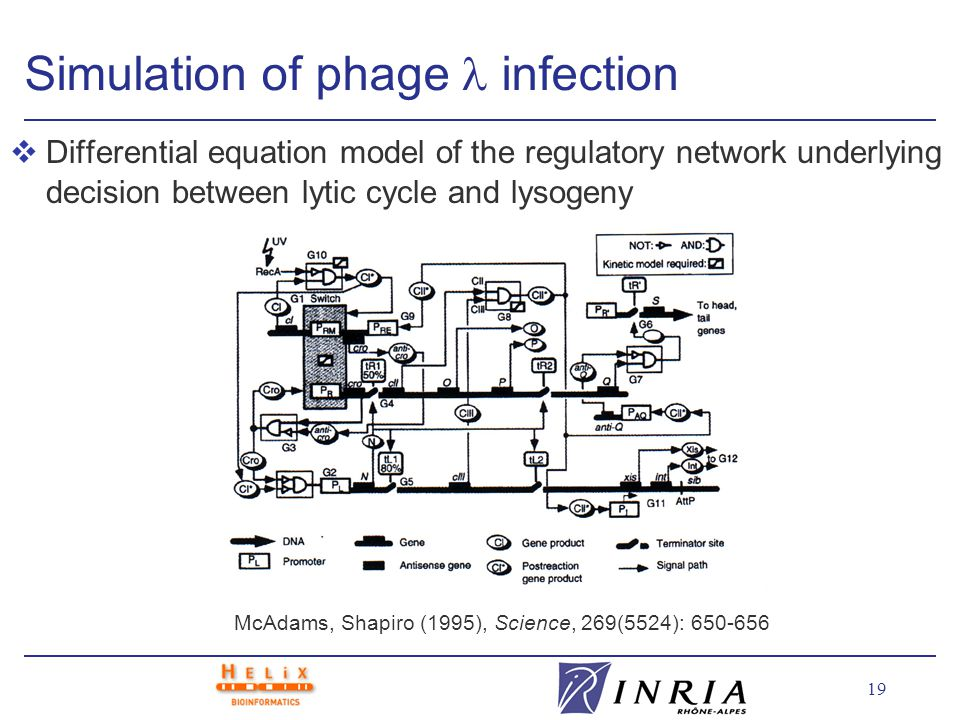 19 Simulation of phage infection vDifferential equation model of the regulatory network underlying decision between lytic cycle and lysogeny McAdams, Shapiro (1995), Science, 269(5524): 650-656