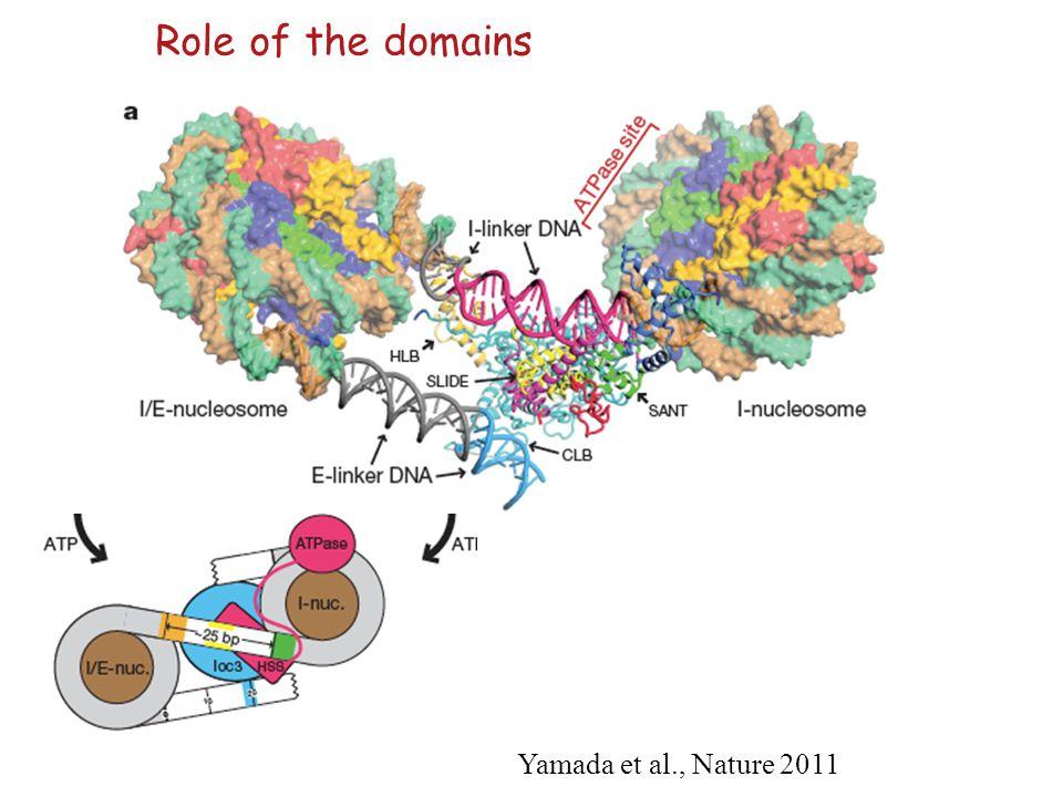Yamada et al., Nature 2011 Role of the domains