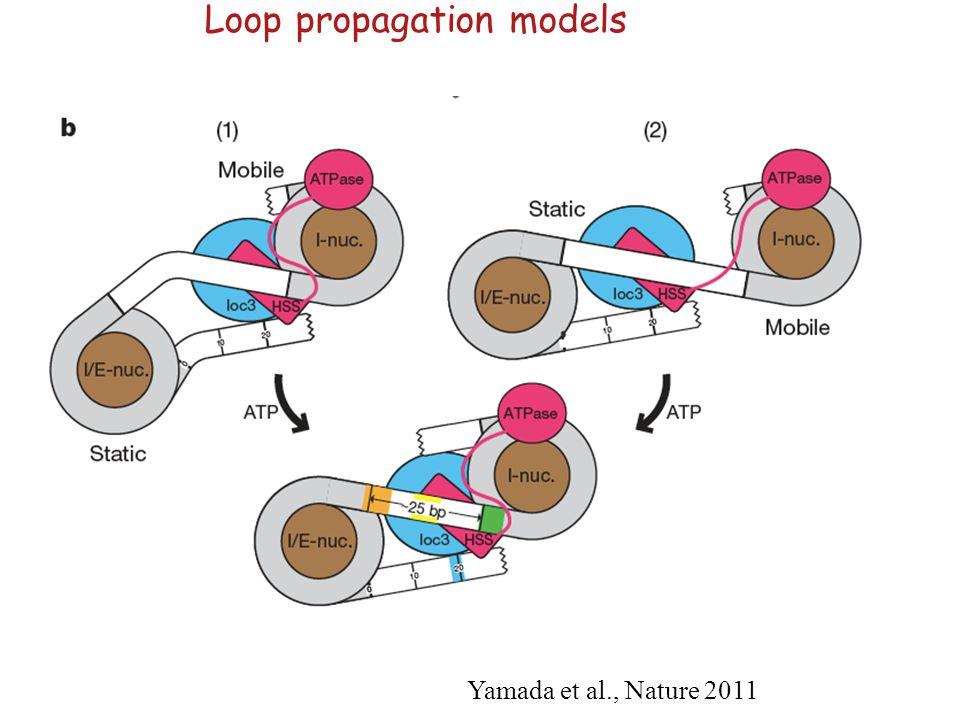 Loop propagation models Yamada et al., Nature 2011