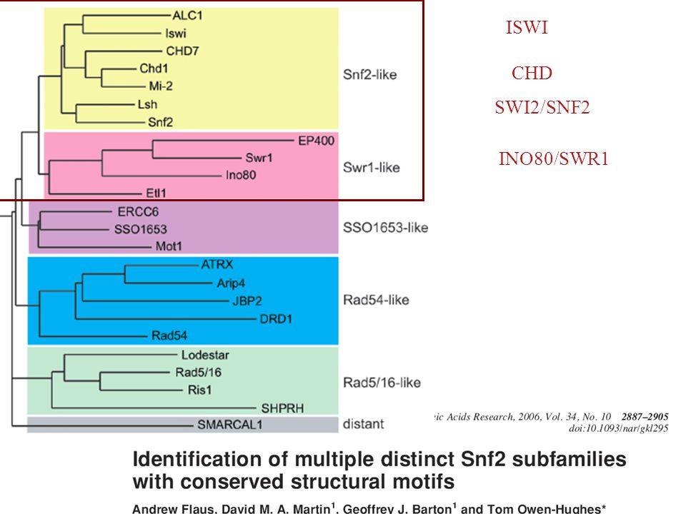 ISWI CHD SWI2/SNF2 INO80/SWR1