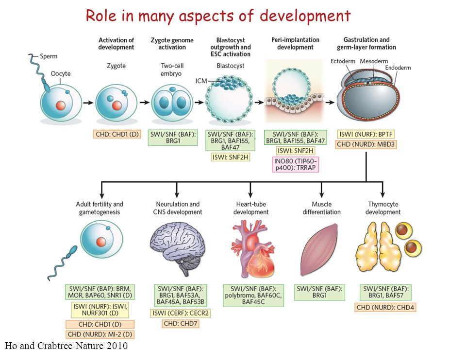 Role in many aspects of development Ho and Crabtree Nature 2010