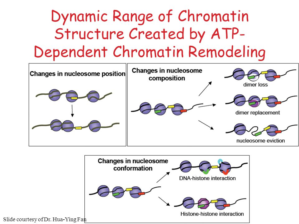 Dynamic Range of Chromatin Structure Created by ATP- Dependent Chromatin Remodeling Slide courtesy of Dr. Hua-Ying Fan