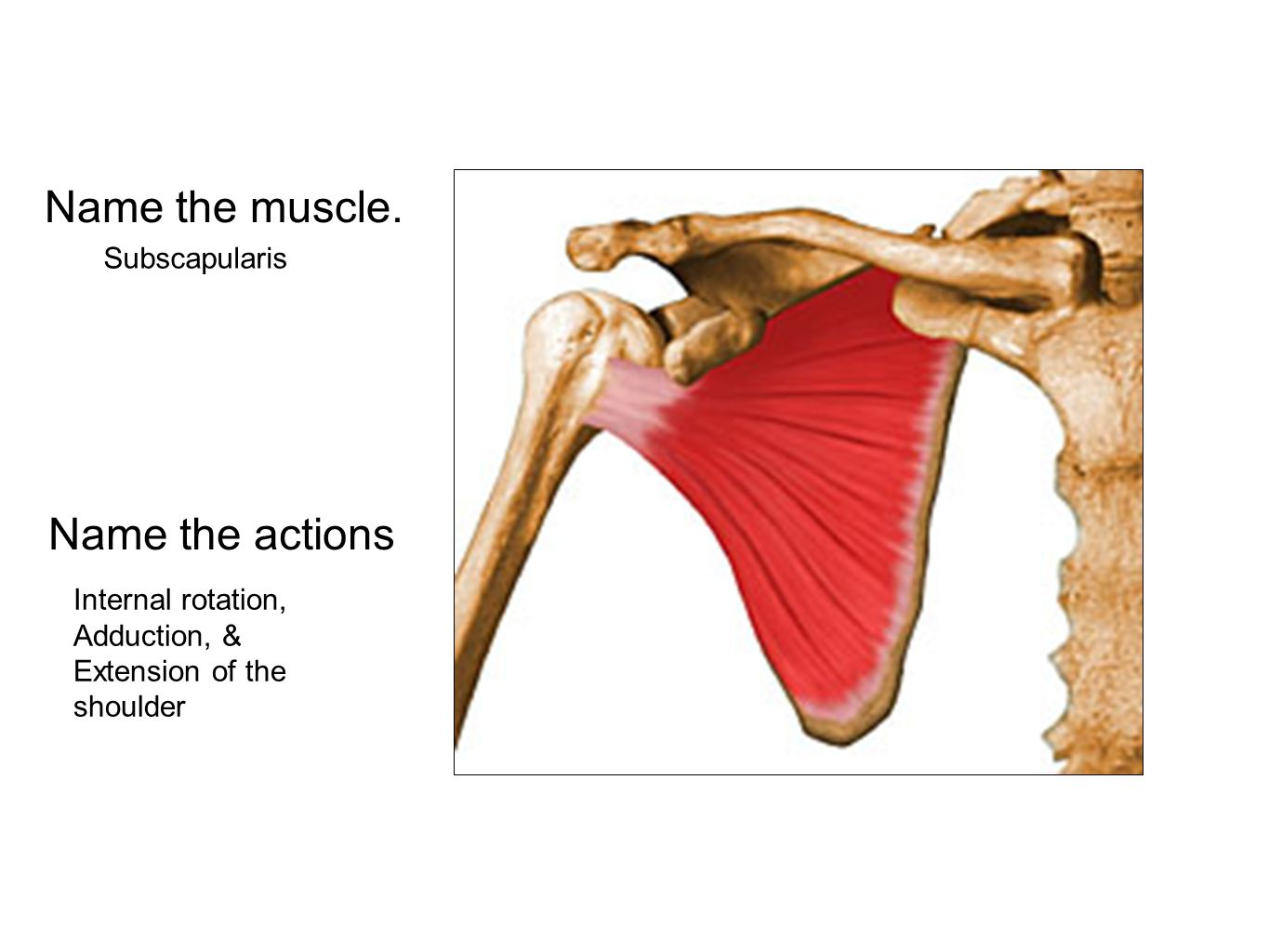 Name the muscle. Subscapularis Name the actions Internal rotation, Adduction, & Extension of the shoulder