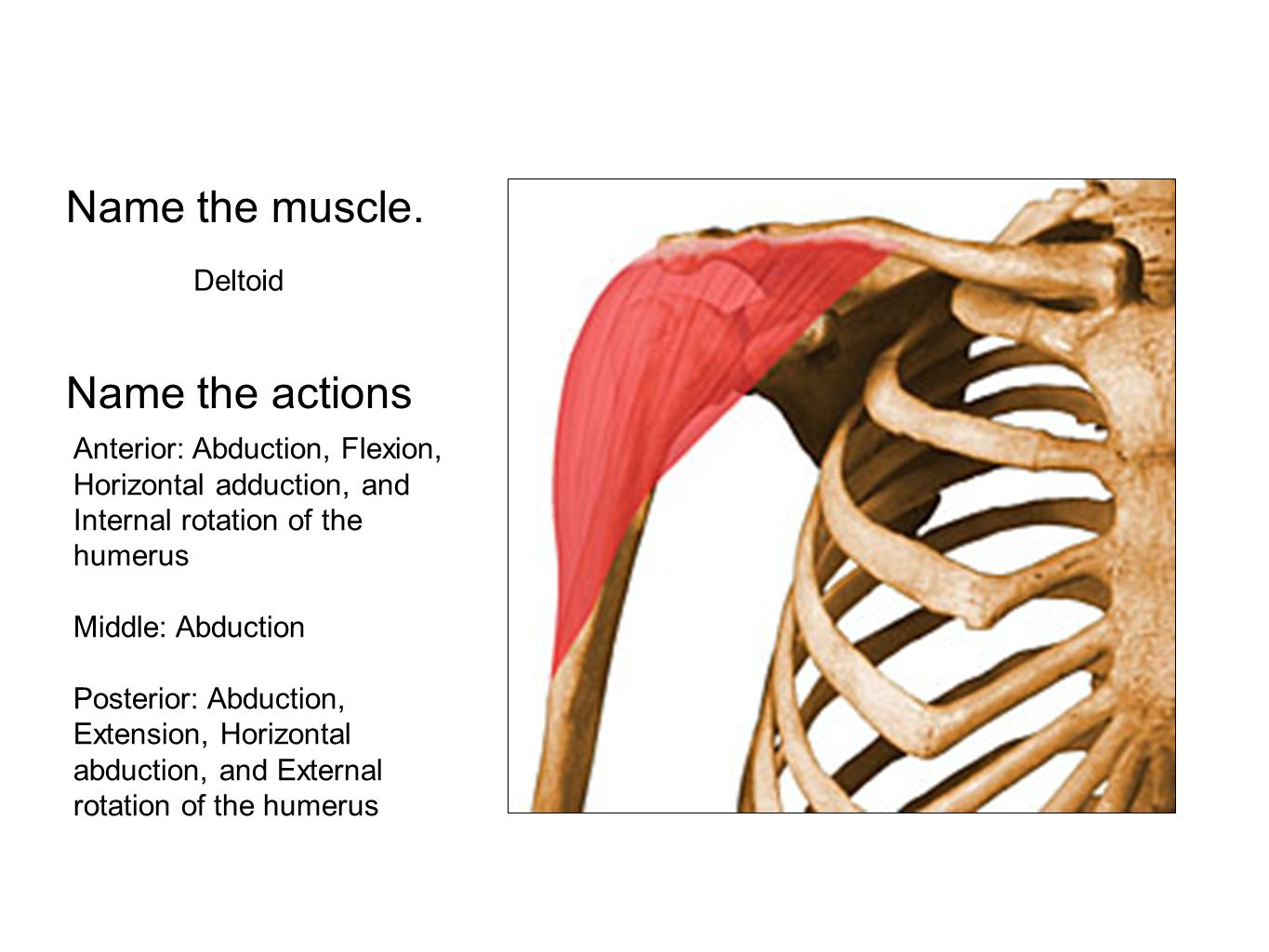 Name the muscle. Deltoid Name the actions Anterior: Abduction, Flexion, Horizontal adduction, and Internal rotation of the humerus Middle: Abduction P