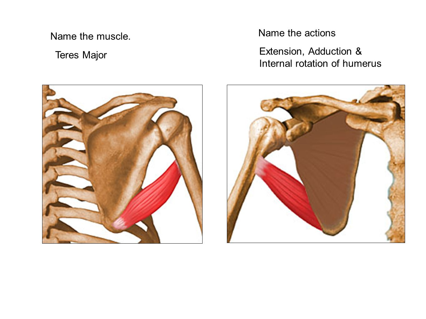Name the muscle. Teres Major Name the actions Extension, Adduction & Internal rotation of humerus