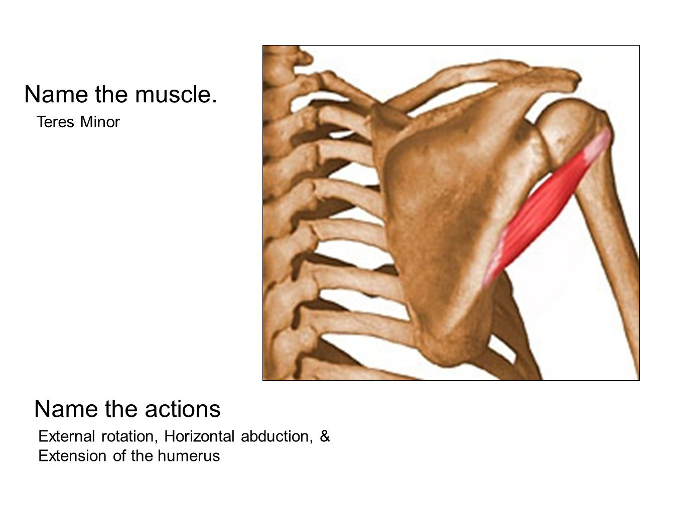 Name the muscle. Teres Minor Name the actions External rotation, Horizontal abduction, & Extension of the humerus