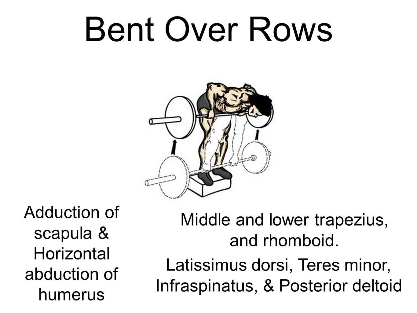 Bent Over Rows Middle and lower trapezius, and rhomboid. Adduction of scapula & Horizontal abduction of humerus Latissimus dorsi, Teres minor, Infrasp
