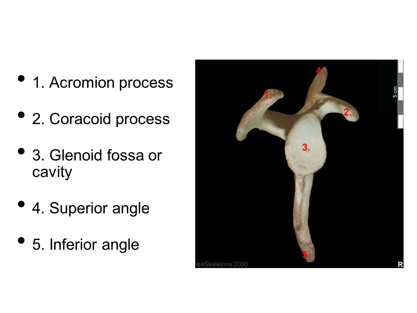 1. Acromion process 2. Coracoid process 3. Glenoid fossa or cavity 4. Superior angle 5. Inferior angle 1. 2. 3. 4.4. 5.