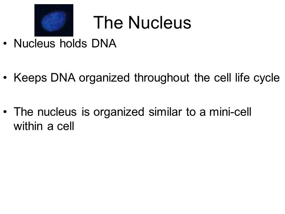 Chromatin Discrete DNA localization The Nucleus: DNA organization