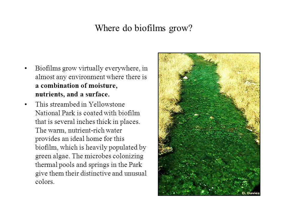 Where do biofilms grow.