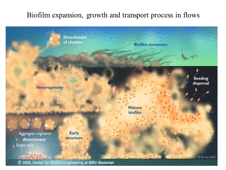 Biofilm expansion, growth and transport process in flows