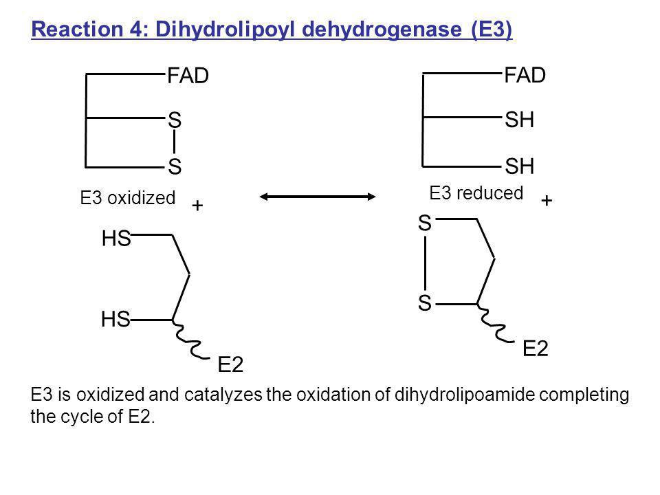 Reaction 4: Dihydrolipoyl dehydrogenase (E3) HS E2 E3 is oxidized and catalyzes the oxidation of dihydrolipoamide completing the cycle of E2. + FAD S