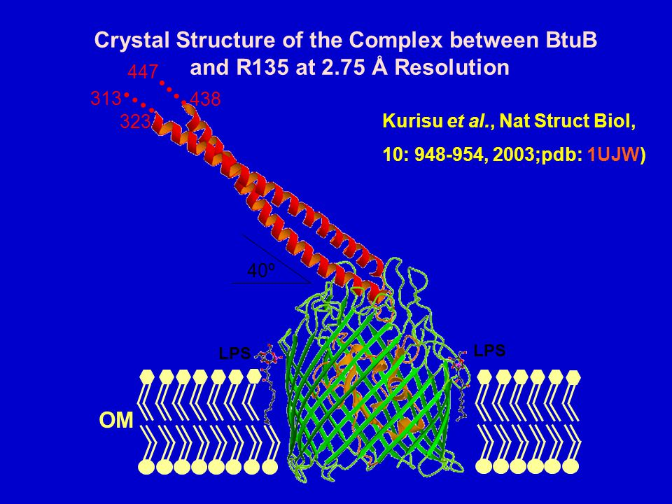 Crystal Structure of the Complex between BtuB and R135 at 2.75 Å Resolution 40º 323 313 438 447 LPS OM Kurisu et al., Nat Struct Biol, 10: 948-954, 2003;pdb: 1UJW)