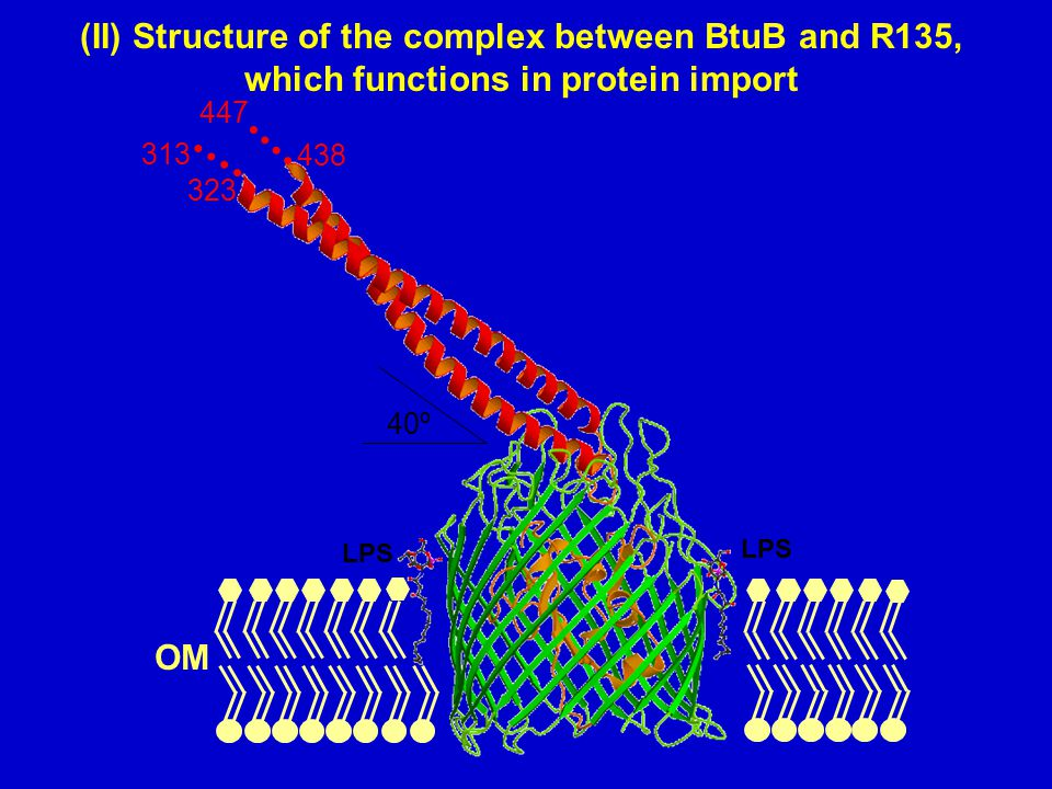 (II) Structure of the complex between BtuB and R135, which functions in protein import 40º 323 313 438 447 LPS OM