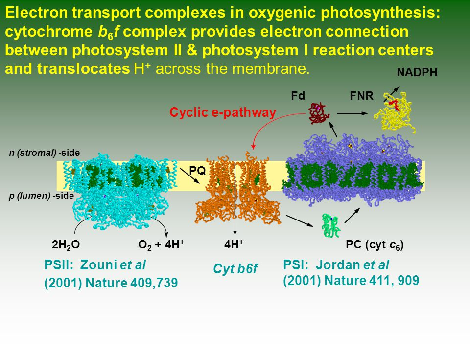 Electron transport complexes in oxygenic photosynthesis: cytochrome b 6 f complex provides electron connection between photosystem II & photosystem I reaction centers and translocates H + across the membrane.