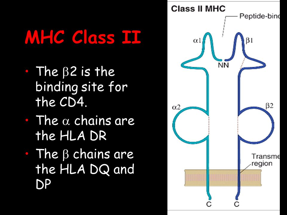 MHC Class II The 2 is the binding site for the CD4.