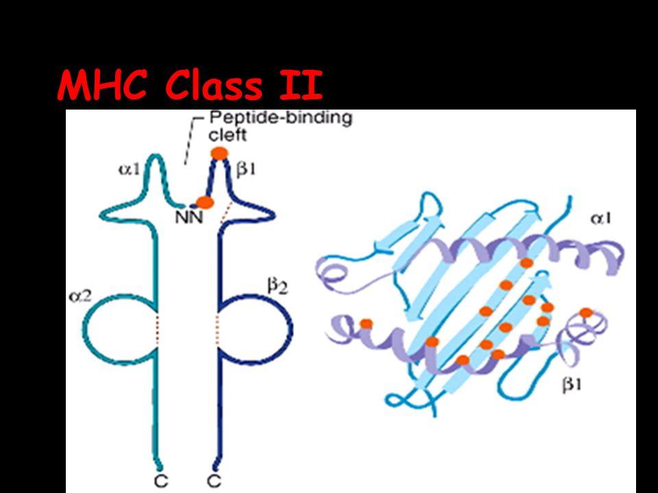 MHC Class II