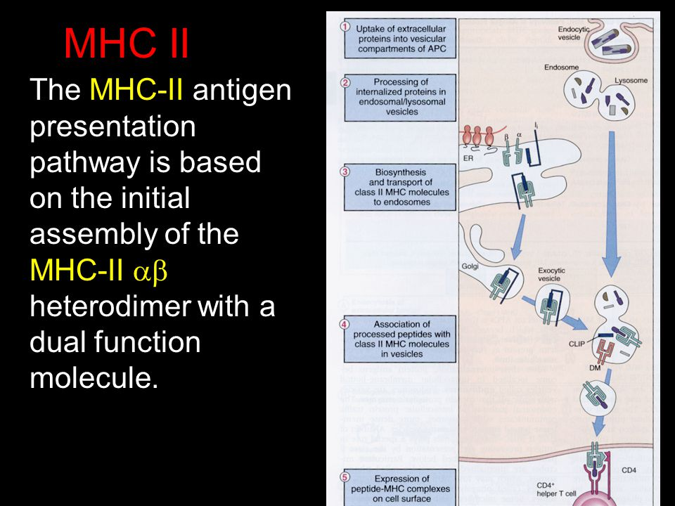 MHC II The MHC-II antigen presentation pathway is based on the initial assembly of the MHC-II heterodimer with a dual function molecule.