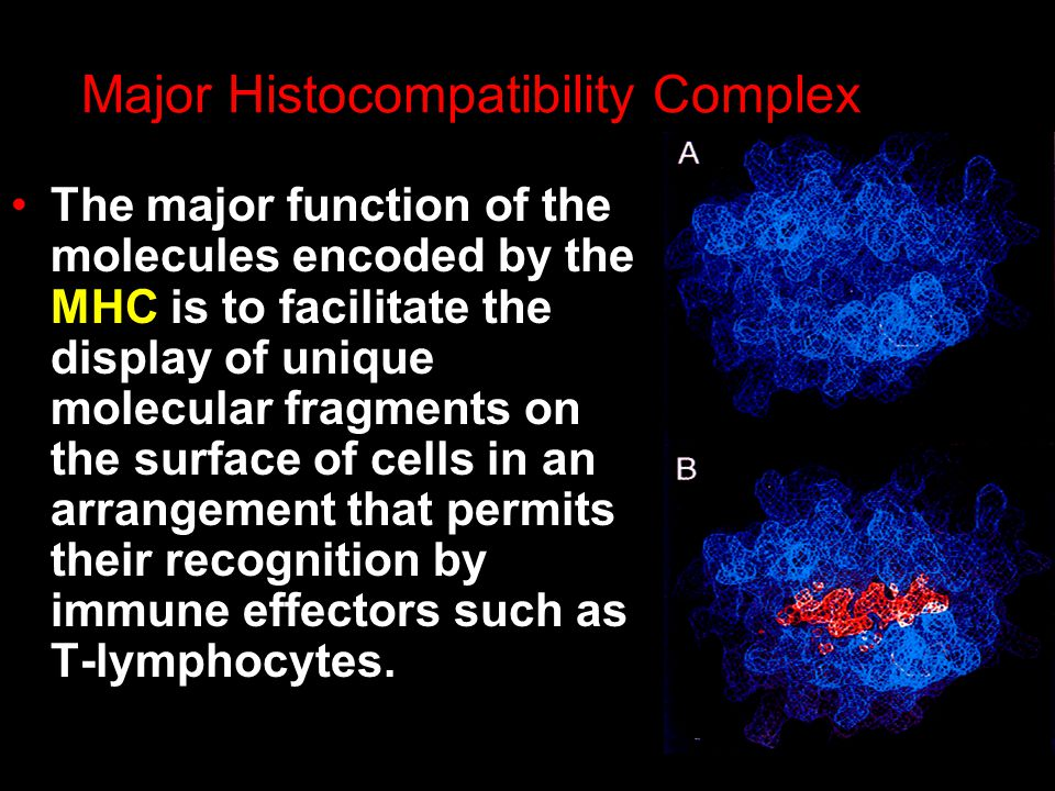 Major Histocompatibility Complex The major function of the molecules encoded by the MHC is to facilitate the display of unique molecular fragments on the surface of cells in an arrangement that permits their recognition by immune effectors such as T-lymphocytes.