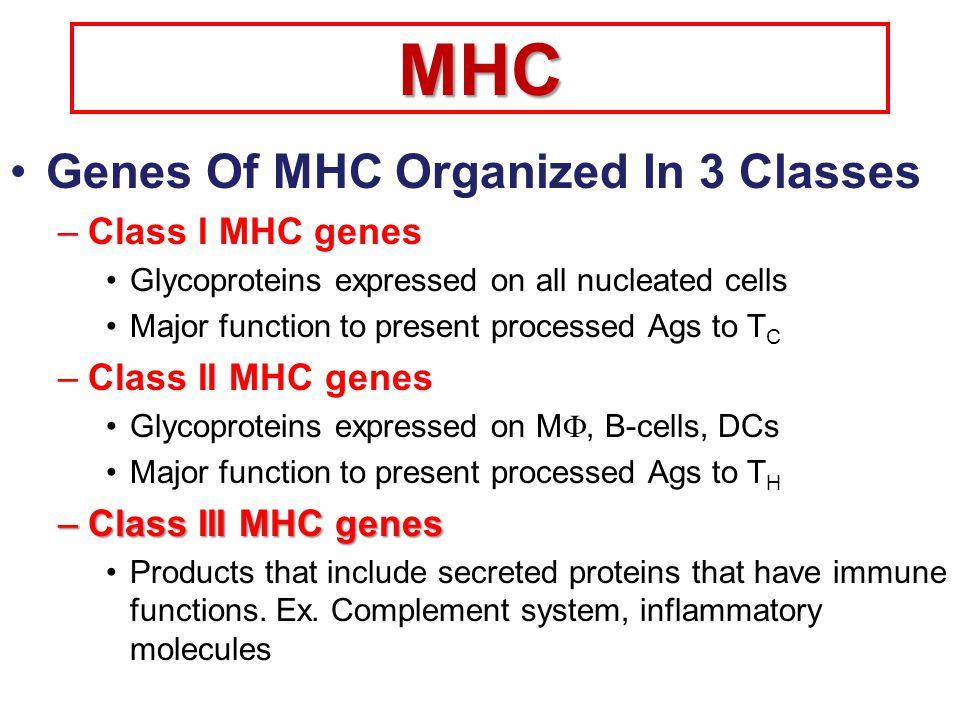 Human Human MHC class I: HLA-A, -B, -C MHC class II: HLA-DR, -DP, -DQMouse MHC class I: H2-K, -D, -L MHC class II H2-A, -E (I-A, I-E) 2 -microglobulin is located on a different chromosome.