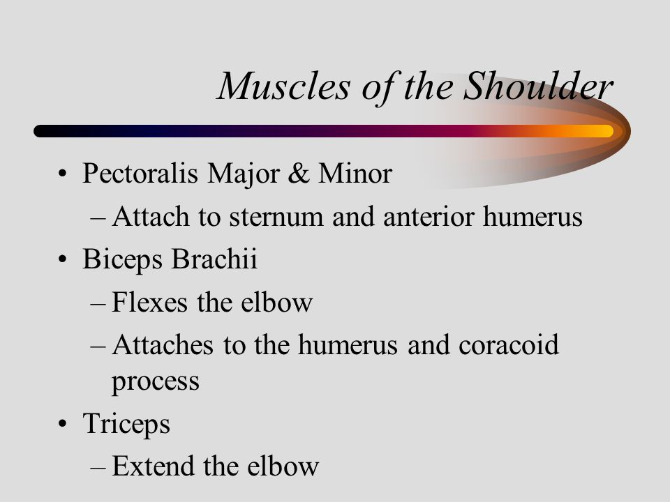 Muscles of the Shoulder Pectoralis Major & Minor –Attach to sternum and anterior humerus Biceps Brachii –Flexes the elbow –Attaches to the humerus and