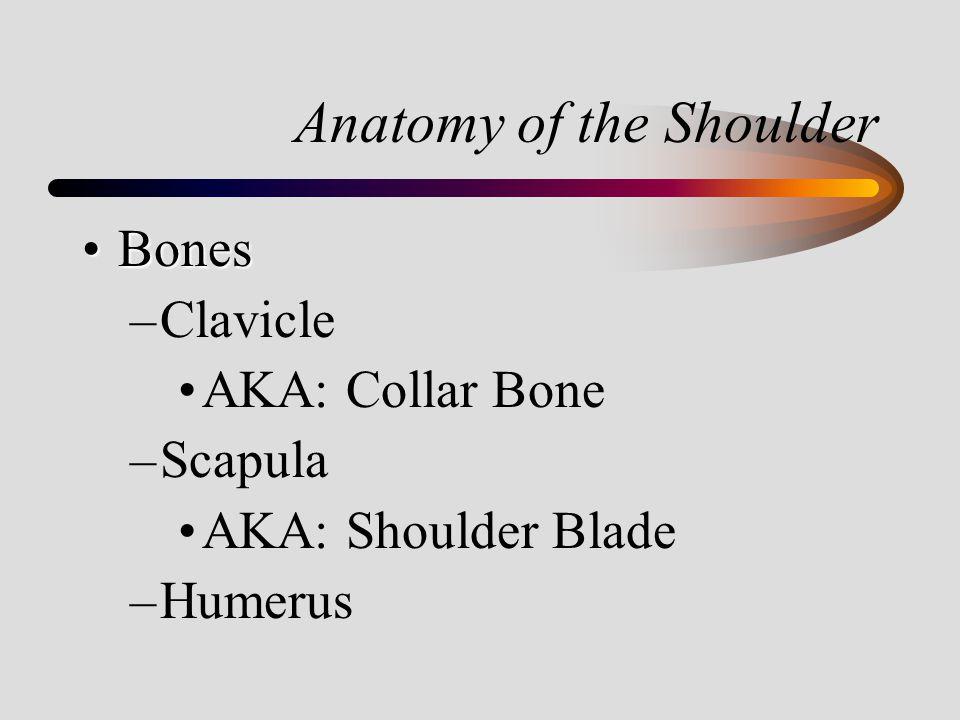 Anatomy of the Shoulder BonesBones –Clavicle AKA: Collar Bone –Scapula AKA: Shoulder Blade –Humerus