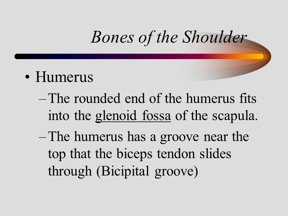 Bones of the Shoulder Humerus –The rounded end of the humerus fits into the glenoid fossa of the scapula. –The humerus has a groove near the top that