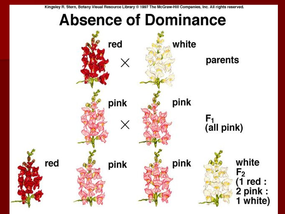 Codominance Codominant alleles --- Both alleles are expressed equally.