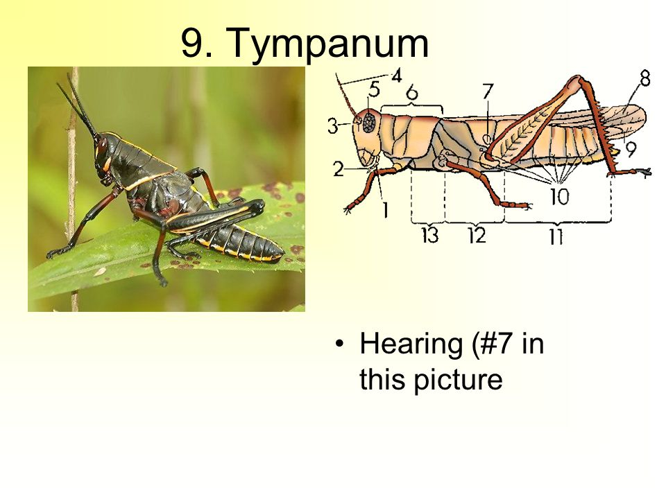 9. Tympanum Hearing (#7 in this picture