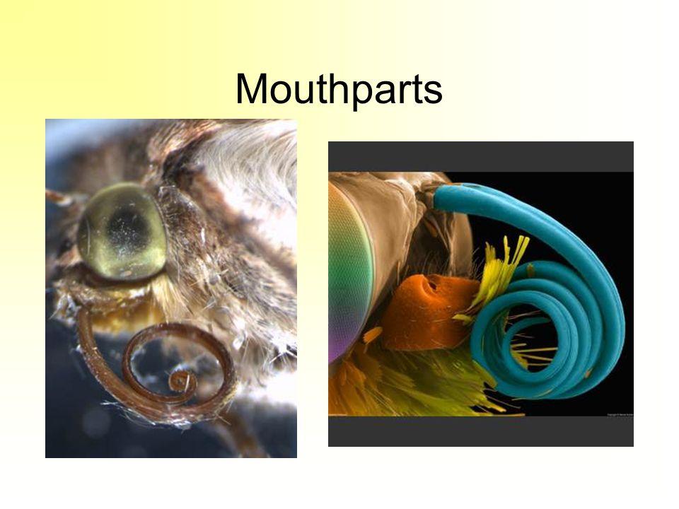 Mouthparts