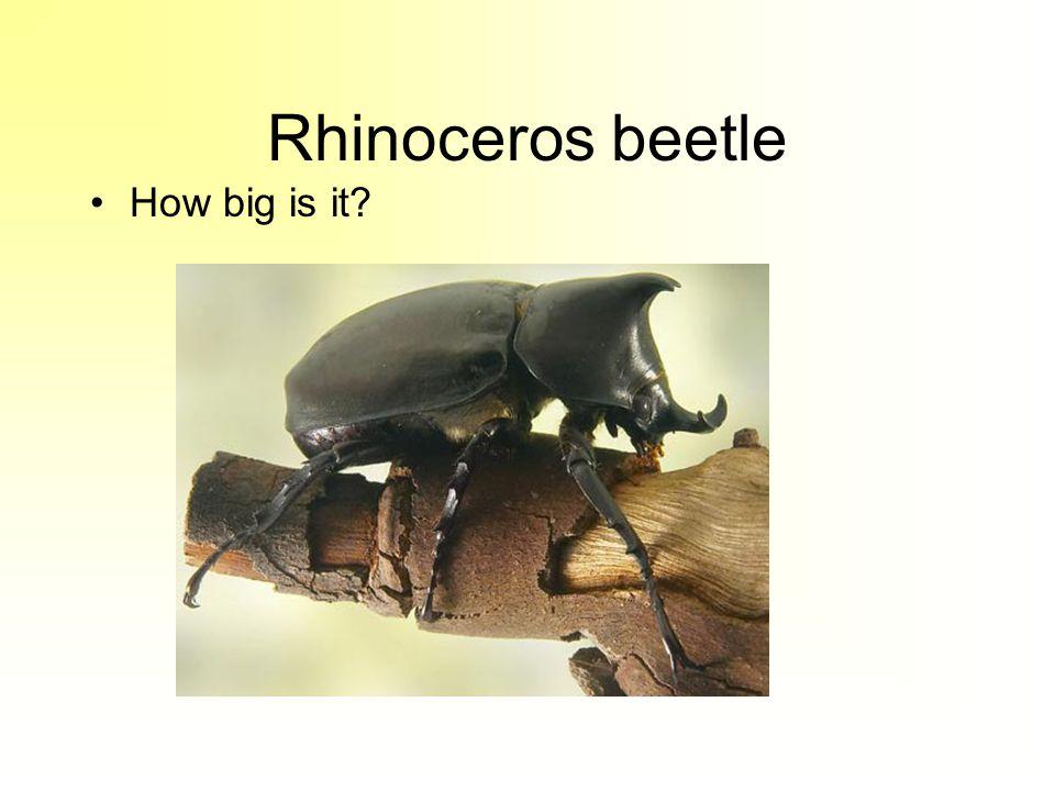 Rhinoceros beetle How big is it